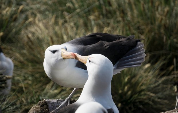 dsc04609-falklands-west-point-black-browed-albatros