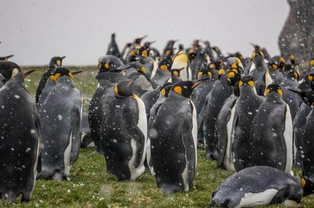 dsc04798-south-georgia-fortuna-king-penguins